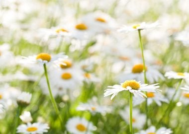 15471142 - wild chamomile on a meadow  photo with shallow depth of field